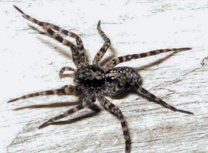Acantholycosa lignaria, female